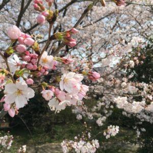 【埼玉・志木】新河岸川沿いの桜に癒される